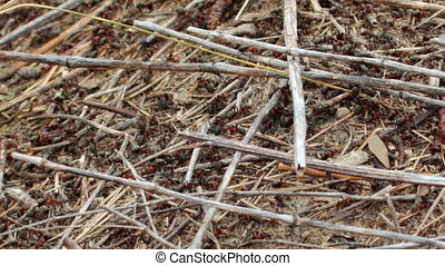 ants - lots of ants hard working on building anthill of...