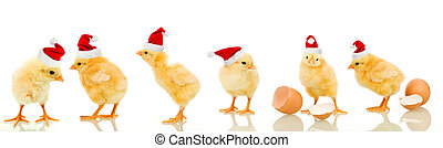 Lots of baby chicken at christmas time - Lots of baby...
