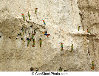 """colorful birds in Uganda (Africa) named """"Bee-eater""""on a big earth formation"""