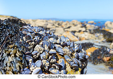 Lots of clams attached to a rock