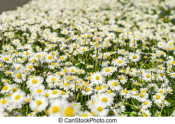 Lots of daisies.