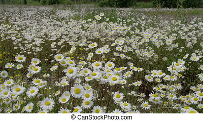 Lots of daisies waving with the wind - Lots of white daisies...