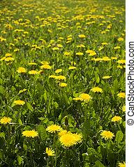 Lots of dandelions on green grass.