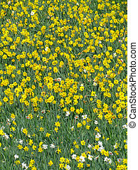 Lots of English yellow daffodil flowers growing in a field.