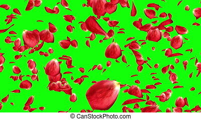 Lots of falling beautiful red rose petals isolated on green screen