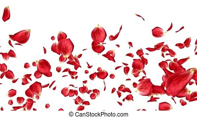 Lots of falling beautiful red rose petals isolated on white background