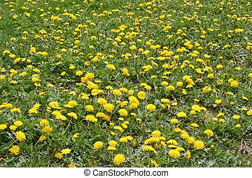 Lots of flowering dandelions