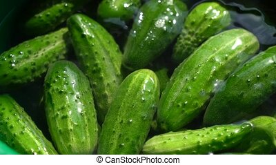Lots of Fresh green organic cucumbers. Eco farm healthy food production and products concept