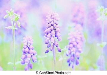 Lots of full bloom Grape hyacinth(Muscari) purple flowers with bright water drops, defocused green garden/field background, close up/Macro horizontal image 2