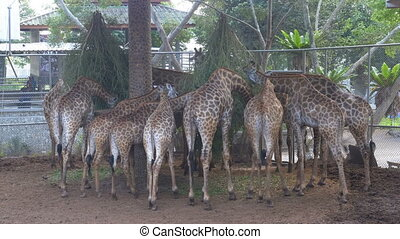 Lots of Giraffes in the Zoo Cage Eating Food from the Branches. Thailand. Asia