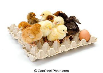 Lots of newborn chickens in egg tray