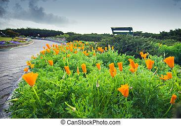 Lots of orange poppy flower in garden2