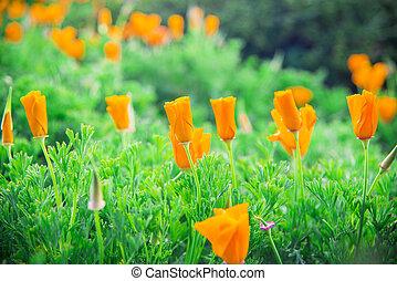 Lots of orange poppy flower in garden3