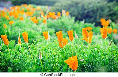 Lots of orange poppy flower in garden4