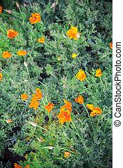 Lots of Orange poppy flower in garden5