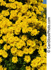 lots of small yellow chrysanthemum flowers vertical composition