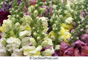 lots of snapdragons