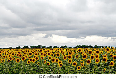 lots of sunflowers on the field under stormy sky