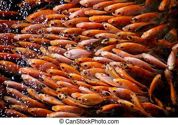 Lots of Tilapia Fish