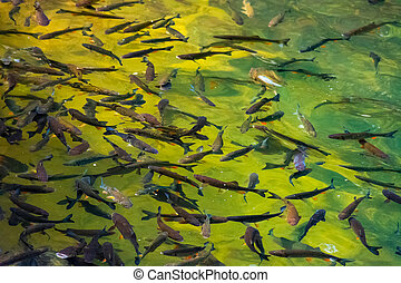lots of trout in clear water of wild lake. lovely nature...