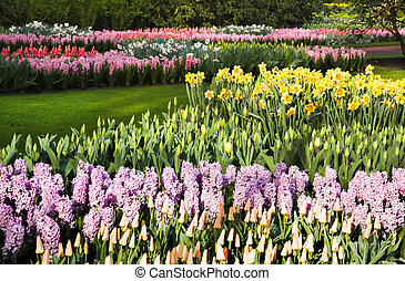 Lots of tulips, daffodils and hyacinths in spring
