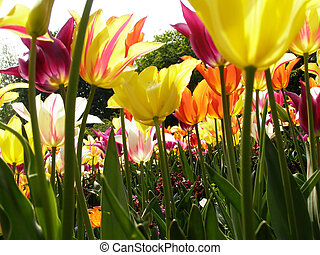 lots of tulips - Lots of multicoloured tulip in the park on...