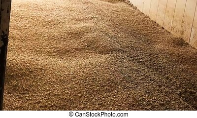 Lots of wheat grains falling down. Agricultural facility...