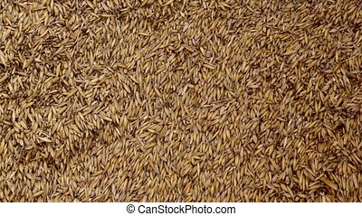 wheat - lots of wheat seed