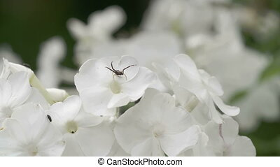 Lots of white flowers with the spider and insects