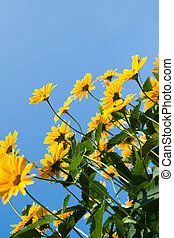 Lots of yellow daisies on a background of blue sky