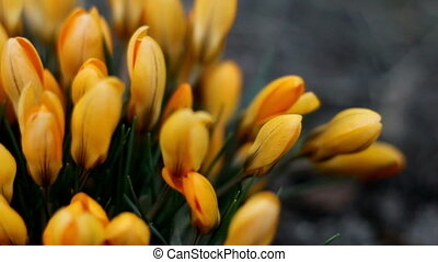 Lots of yellow flowers from crocus plant