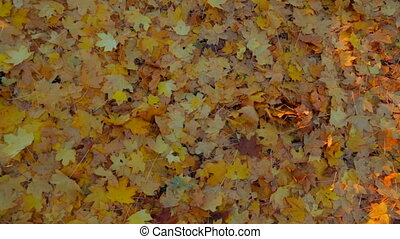 Lots of Yellow Leaves On The Ground In Autumn Forest