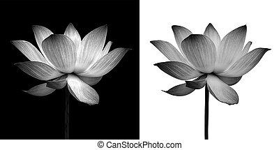lotus, abstract