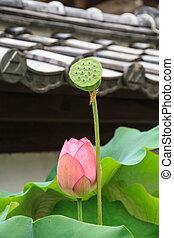 Lotus and lotus seed - Lotus flowers and lotus seed, lotus...