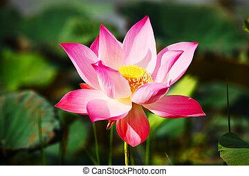 Lotus Aquatic Flora - original lotus or water lily aquatic...