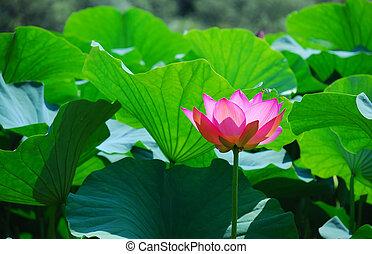 lotus, beau