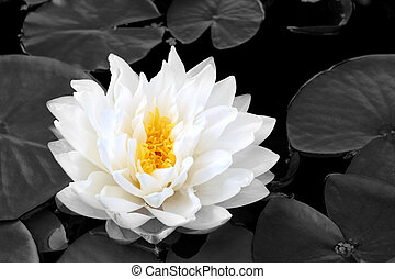 White water lily with yellow stamens in full flower in a pond in summer. (Gladstoniana genus.) Desaturated background.