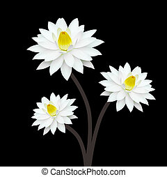 lotus, blanc, arrière-plan noir