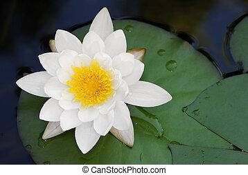 lotus, blanc