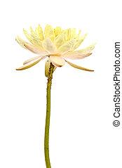 lotus, blanc, isoler, jaune