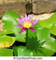 lotus blomstr