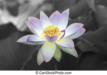 Lotus bloom - Lotus flower with background in black and...