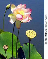 lotus blossom in pond with seed pod