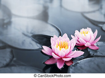 Lotus blossoms - Pink lotus blossoms or water lily flowers...