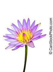 (lotus), blume, hintergrund., lila, wasser, lotos, weiße ...