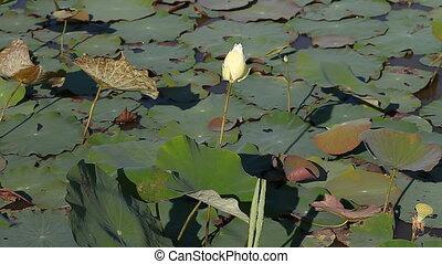 lotus, bouddhisme, fleur, -, sacré