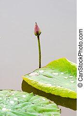 Lotus bud and leaf