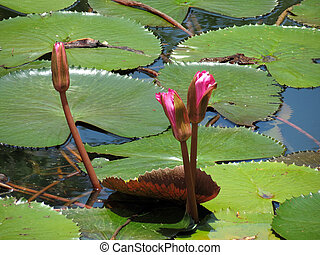 Lotus buds in a pond