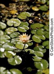 lotus, coussins, lis