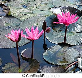 lotus, eau, feuilles, fleur, lis